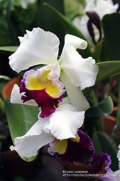 Cattleya Orchid Cattleya 'Hawaiian Attraction' KAT-lee-ah The Cattleya orchids are some of the best looking in the genus. A close second.