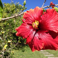 """Hybiscus flower, known as """"Papo"""" in Panama"""