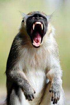 Monkey yawning in Niokolo-Koba National Park, Senegal.