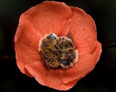 globe mallow bee, There's A Bee Species That Sleep In Flowers And It's As Cute As It Sounds Mallow Flower, Types Of Bees, I Love Bees, Bees And Wasps, Fotografia Macro, Bee Happy, Save The Bees, Bees Knees, Nature Photography
