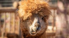 Llamas may be large and fluffy, but their antibodies sure aren't. And that could be a huge advantage when it comes to fighting human influenza virus. Influenza Virus, Instant Karma, All About Animals, Bad Hair Day, Life Is An Adventure, Your Pet, I Am Awesome, In This Moment