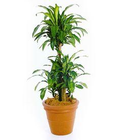 belmore sentry palm curly palm scientific names howea belmoreana family palmae plants. Black Bedroom Furniture Sets. Home Design Ideas