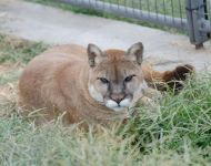 Kitty --- Purchase this print! #turpentinecreek #cougar