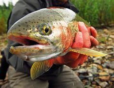 Fly Fishing for Rainbow Trout.