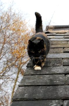"""""""The cat has 9 lives, 3 for playing, 3 for straying and 3 for staying."""" --English Proverb"""