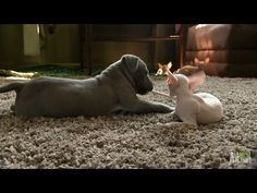 Wilbur the pitbull vs Tofu and Kiki the Cornish Rex kittens.