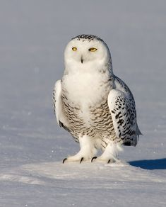 Snowy Owl (Bubo scandiacus) close-up. Image by Rachel Bilodeau. This photo shows the tiny ear-tufts that Snowy Owls have. Beautiful Owl, Animals Beautiful, Owl Species, Owl Bags, Owl Pet, Owl Pictures, Animal Totems, Snowy Owl, Woodland Creatures