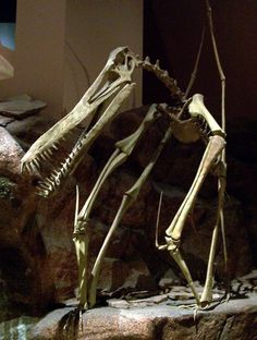 """fossilporn: """"An Anhanguera Pterosaur (pterodactyl) skeleton at the North American Museum of Ancient Life. The Anhanguera lived during the Upper Cretaceous period and had a wing span of up to 15 feet. Dinosaur Skeleton, Dinosaur Bones, Dinosaur Fossils, Jurassic Park, Jurassic World, Reptiles, Dinosaur Plant, Anthropologie, Animal Bones"""