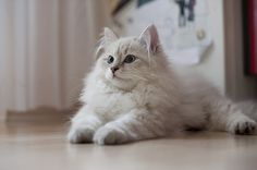 Pretty Siberian cat. They're hypoallergenic - for Scott :) I want one!!!