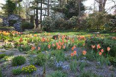 Tulipa 'Orange Emperor' and Muscari armeniacum 'Valerie Finnis' parade through The Gravel Garden. Chanticleer