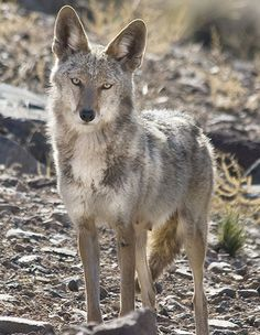 coyote animal - Google Search