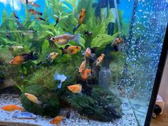 Golden Dust Lyre Tail Tropical Fish. Full grown adults male/female. Some females are pregnant and if offered the leafy conditions will definitely drop the load . Colorful Fish, Tropical Fish, Swordtail Fish, Live Aquarium Fish, Selective Breeding, Fish For Sale, Fish Stock, Fresh Water, Exotic