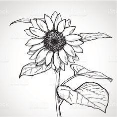Эскиз sunflower (Helianthus Сток Вектор Стоковая фотография
