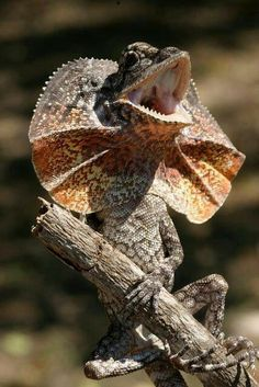 Frill-necked lizard, (Chlamydosaurus kingii), is a tree dwelling lizard found in northern Australia.  It feeds on insects and small vertebrates, and it can grow up to 85cm in length.  It uses it's frilled neck to frighten off predators, rivals and for courtship displays.