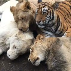Poor Alycone just wanted to cuddle  (play with sound)  #AlcyoneBJWT #LukeAndHanBJWT #KingAliBJWT #TheBigPrideBJWT #RescuedTigers #RescuedLions #SaveTigers #SaveLions #NotPets #NoSonMascotas #ItsAllForLove #BeHuman #SaveOurPlanet #Love #Lion #Tiger #WhiteLion #Mexico #Majestic #Handsome #Beautiful #Sleepy #Cuddles #BoycottCircus #BlackJaguarWhiteTiger  Video by @blackjaguarwhitetiger