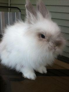 Lion head rabbit!
