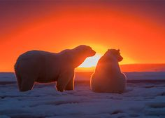 Polar Bears at Sunset: Fantastic Photos by Sylvain Cordier | Inspiration Grid | Design Inspiration