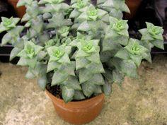 Crassula perforata Succulents In Containers, Cacti And Succulents, All Plants, Garden Plants, Plant Fungus, Backyard Paradise, Cactus Y Suculentas, Fungi, Houseplants