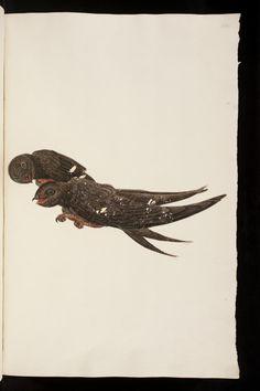 Abbildungen von Vögeln Gesner, Conrad [1516-1565] Zürich, vor 1560 Universitätsbibliothek Basel