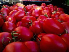 Il #pomodoro Re Umberto, detto #Fiascone (coltivato a Tramonti, #CostieraAmalfitana) è maturo e pronto per la trasformazione