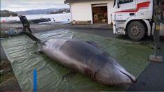 Pitva veľryby, ktorá bola ulovená počas posledného januárového víkendu 2017 pri ostrove Sotra neďaleko nórskeho mestečka Bergen, potvrdila to, č