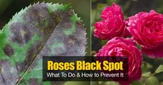 Black spot on roses is caused by the fungal disease Diplocarpon rosae, especially when weather is hot, humid and nights are damp and cool. [LEARN MORE]