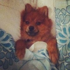 So derpy #Basil #derp #derpydoggy #cutie #snuggledup #pom #bed #dog #petsofinstagram #lovehim Derp, Basil, Dog Food Recipes, Instagram Posts, Dog Recipes