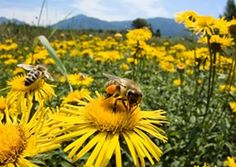 No, the buzzing you hear isn't the iPhone in your pocket. It's a honey bee—and the impact it has on pollinating the crops you eat is worth its ... presence.