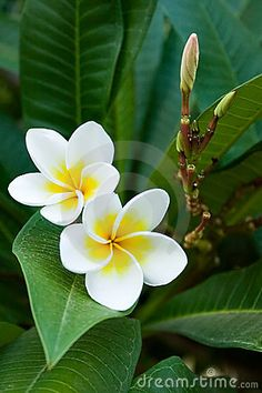 Frangipani Tropical Flowers Love To See And Smell When I Travel
