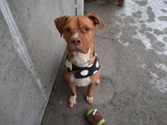 2/22/17 OMG I´M CRUSHED FOR THIS POOR BOY! FINALLY ADOPTED AND EVERYBODY WAS SO HAPPY CELEBRATING 2/19/17 AND NOW THEY RETURN HIM 4 DAYS LATER DUE TO PET HEALTH! POOR POOR BABY! PLEASE LET HIM FIND HIS TRUE MATCH AND PEOPLE WHO REALLY LOVE AND TAKE CARE OF HIM!! /IJ SUPER URGENT Brooklyn Center RAZOR aka TAB – A1057428 ***RETURNED AGAIN 02/22/17*** NEUTERED MALE, TAN / WHITE, BOXER MIX, 5 yrs RETURN – EVALUATE, HOLD RELEASED Reason PET HEALTH Intake condition EXAM REQ Intake Date…