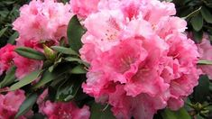 Rododendrony, česky pěnišníky patří k nejatraktivnějším keřům našich zahrad, které především na jaře poutají pozornost. Flowers, Plants, Gardening, Lawn And Garden, Plant, Royal Icing Flowers, Flower, Florals, Floral