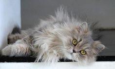 O Persa é uma raça de gato facilmente identificável e adorada por muitos! Aprenda tudo sobre esta raça no nosso artigo :) #persa #gatos #cats #animais