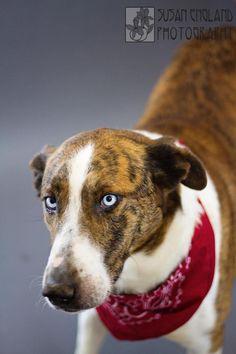 Meet NOAH, a Petfinder adoptable Australian Cattle Dog (Blue Heeler) Dog | Circleville, OH | Noah is a male Australian cattle dog mix about 5 years old. He is very friendly gets along with...