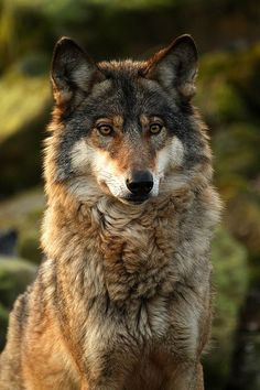 The red wolf was one of the first animals to suffer at the hands of European settlers. Armed with an anti-wolf fervor bordering on the religious, colonizers set about cleansing the land of fur and fang, with devastating efficiency. Wolf Photos, Wolf Pictures, Wolf Love, Wolf Spirit, Spirit Animal, Beautiful Creatures, Animals Beautiful, Tier Wolf, Animals And Pets