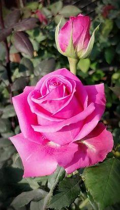 Beautiful Rose Flowers, Amazing Flowers, My Flower, Beautiful Flowers, Yellow Roses, Pink Roses, Pink Flowers, Rose Bush, Morning Flowers