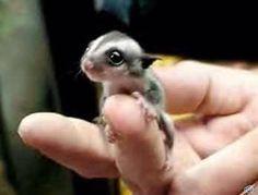 Baby sugar glider:):