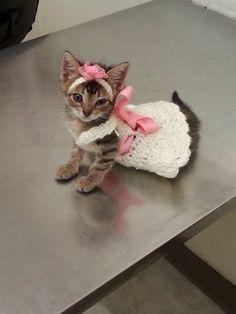 Gray Tabby Kitten In white Dress & Pink Bow
