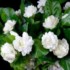 Jasmine Sambac Absolute  (Jasminum sambac) Lighter and sweeter than the gradiflorum. Beautiful floral notes.