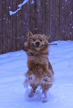 Golden Retriever Clyde playing in the snow