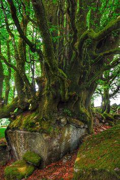 Beech tree growing over a boulder, near burrator reservoir July 2012 #Dartmoor #Devon