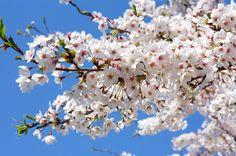 Cherry blossoms(sakura),Japan