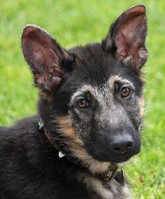 Ollie von Olpe is an adorable 12 week old German Shepherd puppy. Westside German Shepherd Rescue of Los Angeles