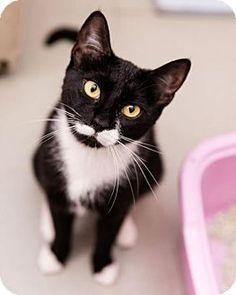New York, NY - Domestic Shorthair. Meet Iggy (Manhattan), a cat for adoption. http://www.adoptapet.com/pet/15827851-new-york-new-york-cat