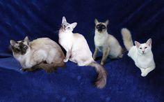 Gatto Balinese • Cuccioli Balinese • Allevamento Amatoriale Orobie Diva's  To the left: FIERO, DIVA (Fiero's wife); STELLA and LIO (Stella's husband)