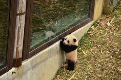 Bao Bao - Panda cub - Who is that in the window?