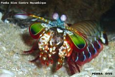 Mozambique, a dive destination not visited by the regular scuba diver, but stunning underwater scenery. Look at the photo of this little creature taken while scuba diving near Pemba, Mozambique.
