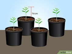 Image titled Grow Lavender from Seed Step 14 Growing Lavender From Seed, Lavender Seeds, Lavender Flowers, Yellow Flowers, How To Propagate Lavender, Weed Effects, La Germination, Purple Flowers