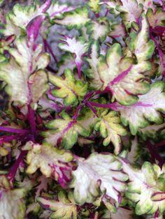 "Coleus ""wildfire flash"" Coleus plant care tips: http://www.houseplant411.com/houseplant/coleus-how-to-grow-care-tips"