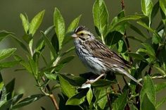 Cultural evolution changes bird song
