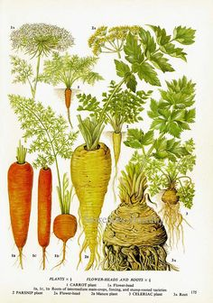 Carrot Parsnip Celeriac Chart Root Vegetable by SurrenderDorothy
